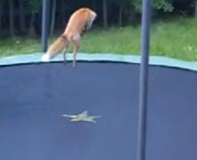 Raposas pulando em cama elástica